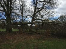 Wind Damaged Beech Tree